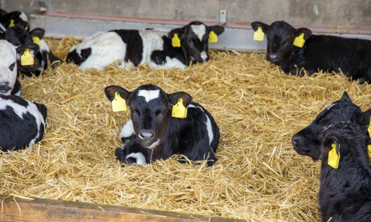 'The beginning is everything': Give your calves the start they need