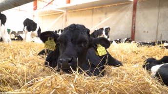 Video: What questions should I ask dairy farmers when sourcing dairy-beef calves?