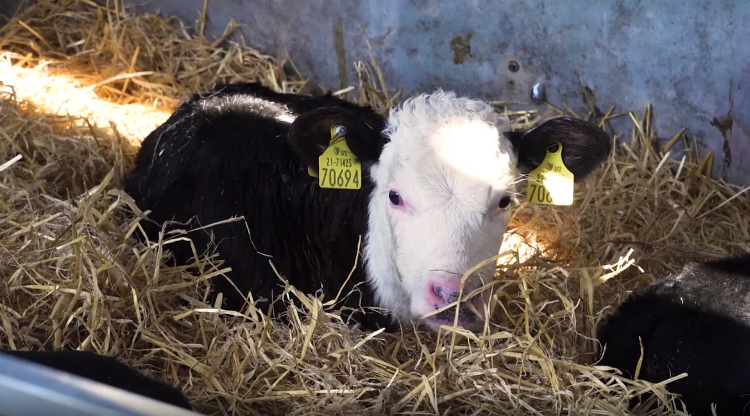 Video series: The complete guide to buying and rearing dairy-beef calves