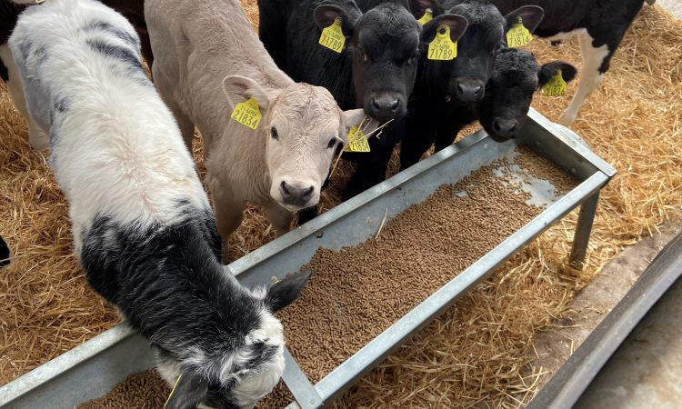 Video: Calf disease and how vaccination can play an important role against this