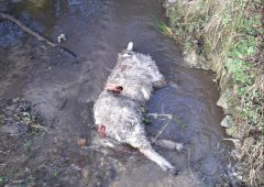 Sheep killed in overnight dog attack in Kilkenny