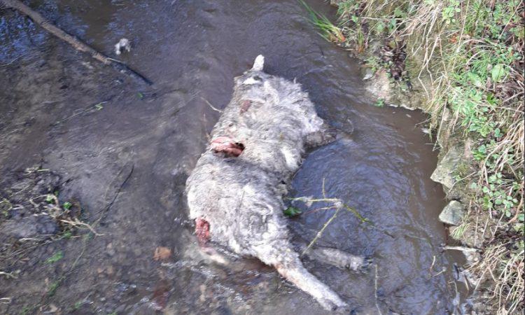 Sheep killed in overnight dog attack in Kilkenny