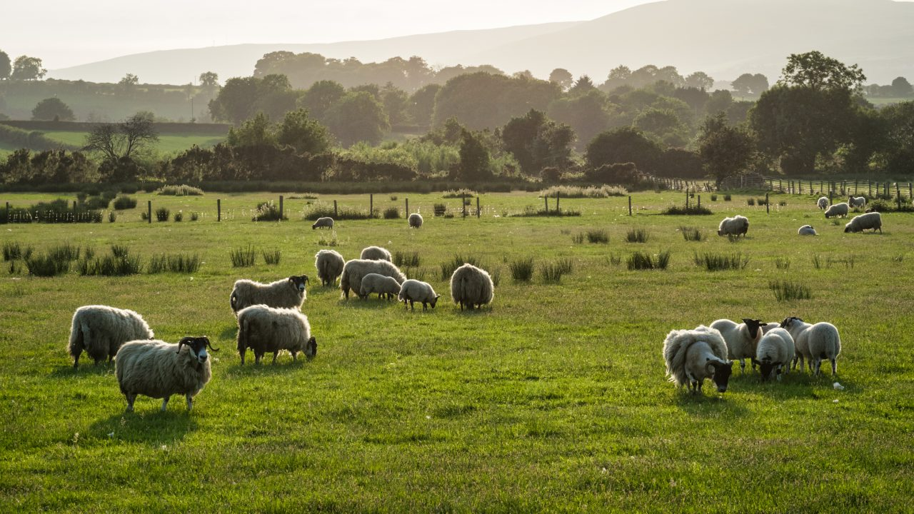What is the department's outlook for sheep, pigs and poultry?