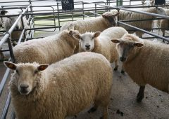 Sheep marts: Steady trade all round prior to closure of livestock marts