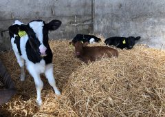 Calves to be exempted from TB testing up to 120 days – IFA