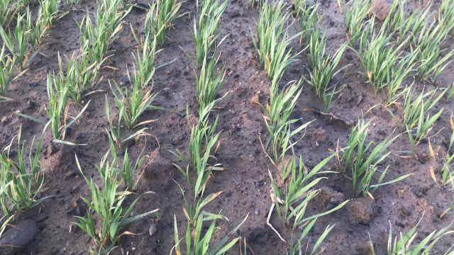 Teagasc says some cereal crops showing resistance to BYDV
