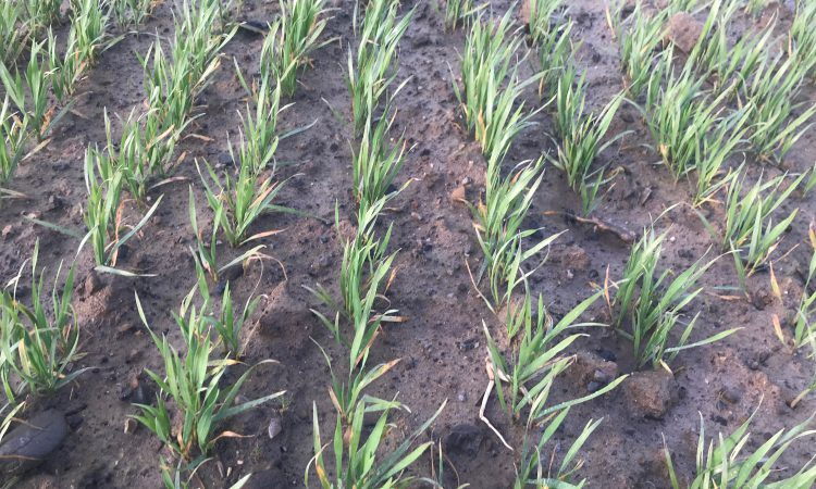 Winter cereals: Fertiliser needed as soon as possible