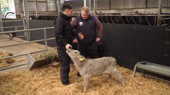 Video: How to examine the calf prior to purchase for dairy-beef systems