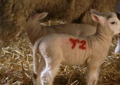 What are my options when it comes to managing surplus lambs?