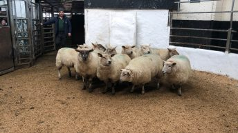 Pics and prices: Well-fleshed hoggets and ewes in high demand at Tullow Mart