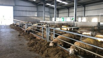 Ewe health issues: Getting to grips with mastitis this lambing season