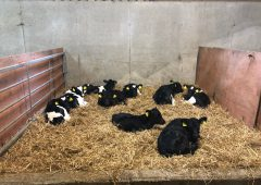Dairy calf registrations up nearly 55,000 head compared to this time last year