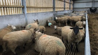 What can I do if my ewes are prolapsing?