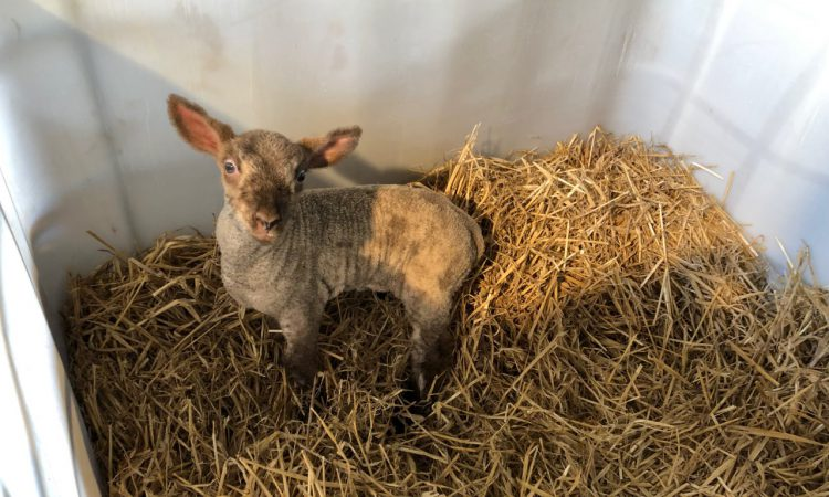 What are the dangers associated with buying in foster ewes and pet lambs?
