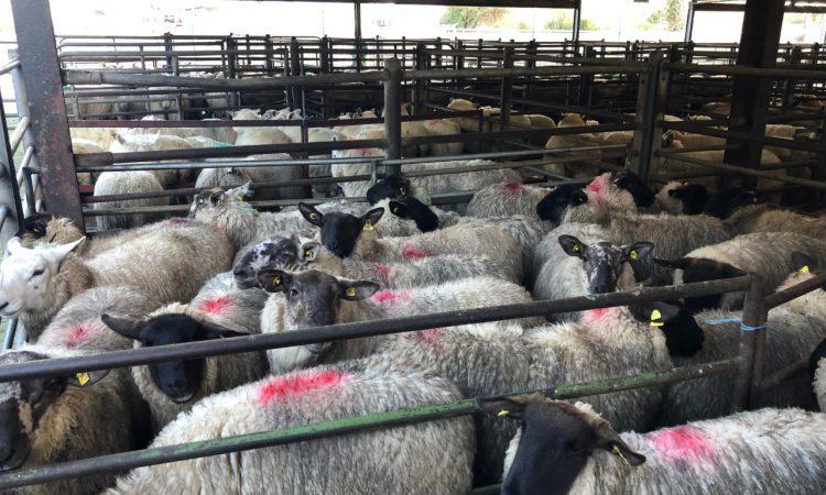 Sheep trade: Is a big logjam looming in sheep factories?