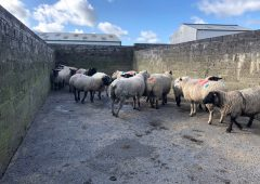 Sheep trade: Quotes hard to come by, as factories keep their cards close to their chest