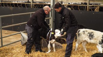 Video: How to weigh calves using a weigh-band and the correct weaning process