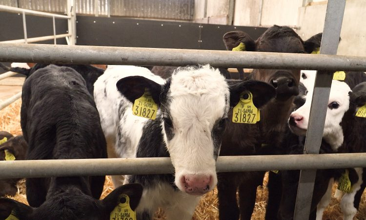 Video: How to manage the dairy calf on arrival to the beef farm