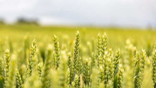 How seasonal climate forecasts can boost wheat production
