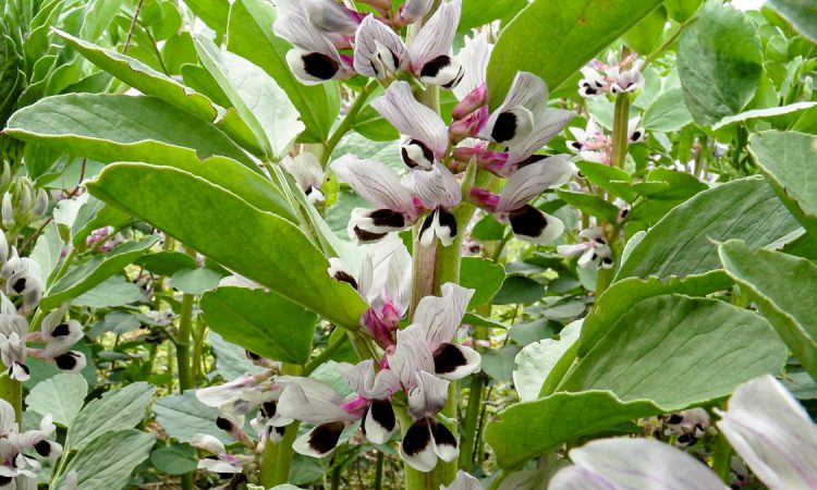 Growing field beans – the agronomy has got to be just right