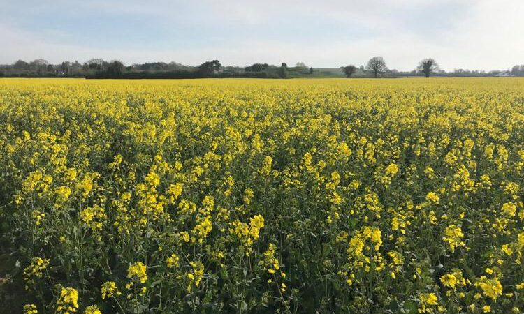 Did you 'HEAR' about this oilseed rape crop?