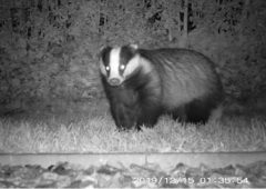 Study suggests humans transported badgers from Ireland to Britain