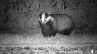 Badger cull identified as DAERA's preferred option for bTB wildlife intervention