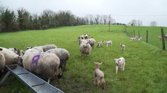 Maintaining ewe BCS in early lactation is critical
