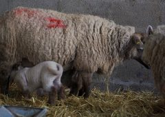 Video: How to carry out good hygiene practices in the lambing shed