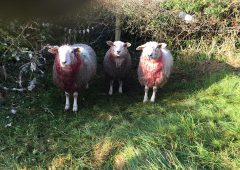 Appeal for information following Tipperary sheep attack