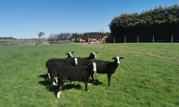 Sheep focus: Breeding pedigree Zwartbles in Co. Galway