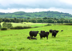 Aberdeen Angus beef set to retain a premium in the market