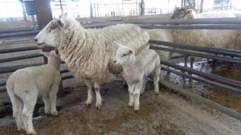 Sheep marts: Ewes with 2 lambs at foot make up to €260/head