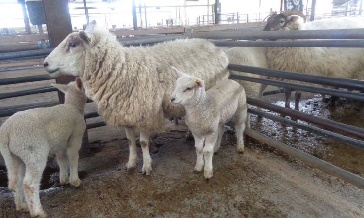 Sheep marts: Ewes with 2 lambs at foot make up to €260/head
