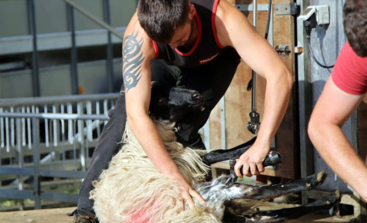 'It's business as usual for us' – sheep shearer Karol Devaney