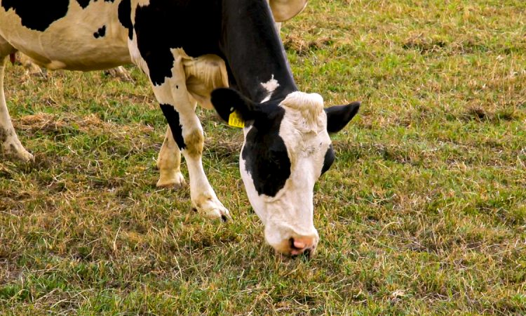 Removal of dairy cows would have 'minimal' impact on emissions – US research