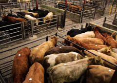 Cattle marts: It's a good time to be selling, but a tougher time to be buying