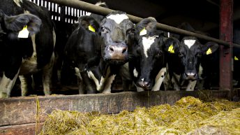 Robotic milking: Is it for you?