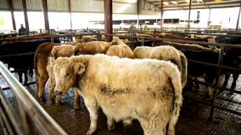 Cattle prices lift with 'agents chasing hard to get stock'