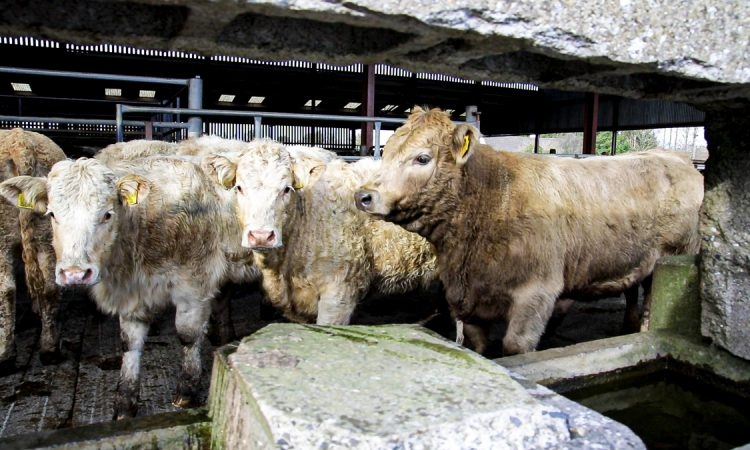 Cattle marts: No setbacks reported in demand for 'factory-fit' cattle