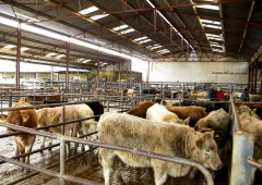 Cattle marts: Managers signal to a strengthening of the store trade