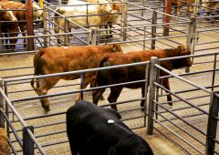 'Significant step': Farmers urged to support 'safe sale' return of marts