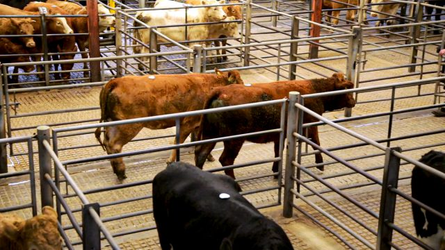 Cattle trade 'moves up another notch' at Carnew Mart