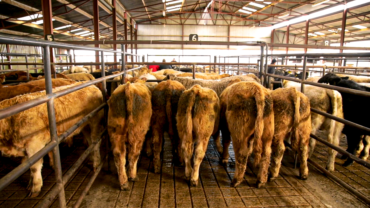 Limited buyers and more than 600 cattle at Balla mart