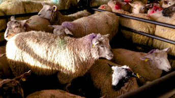 Sheep trade: Up to 30c/kg wiped off lamb quotes within a week