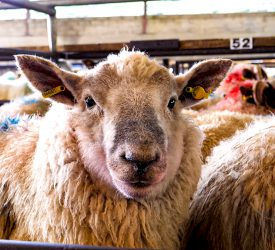 2020 Sheep and Goat Census can still be completed online