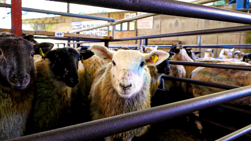 NI sheep farmers to benefit from £1.27 million Covid-19 support scheme