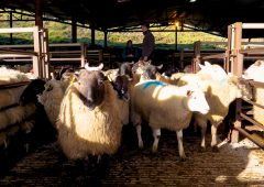Sheep trade: Spring lamb quotes slip once again