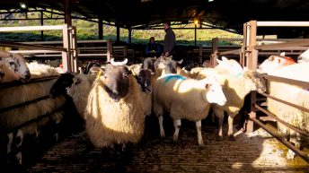 Sheep trade: Spring lamb quotes slip once again