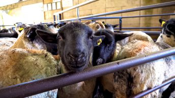 Sheep farmers 'severely disadvantaged' with online mart sales – ICSA